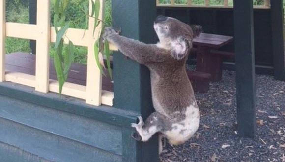 Koala atornillado a poste desata indignación en Australia