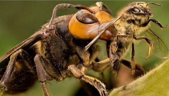 La avispa gigante asiática atacando a una abeja: Foto: Difusión