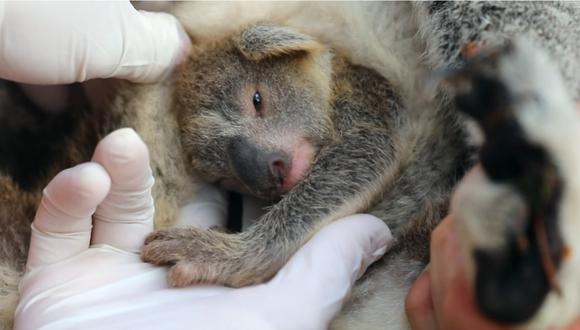Koala ve la luz por primera vez tras incendios forestales en Australia. | Foto: Captura de pantalla.
