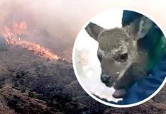 Rescatan a venado bebé de gigantesco incendio forestal en Cusco (VIDEO)