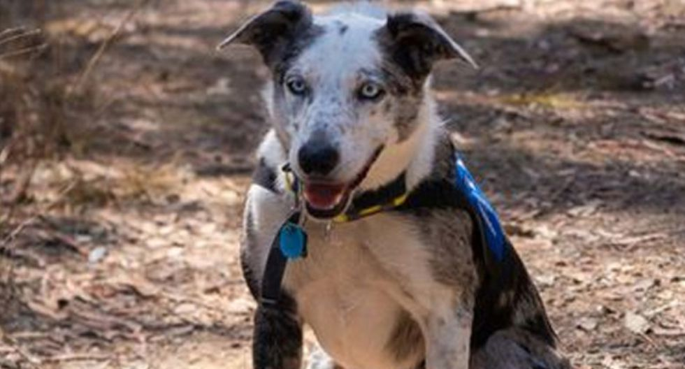 Oso, el perro que fue abandonado y ahora rescata koalas en incendios forestales