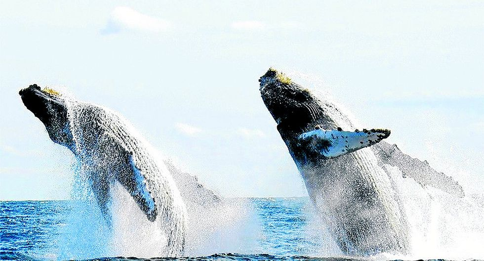 Conoce cuándo inicia la temporada de avistamiento de ballenas en Piura