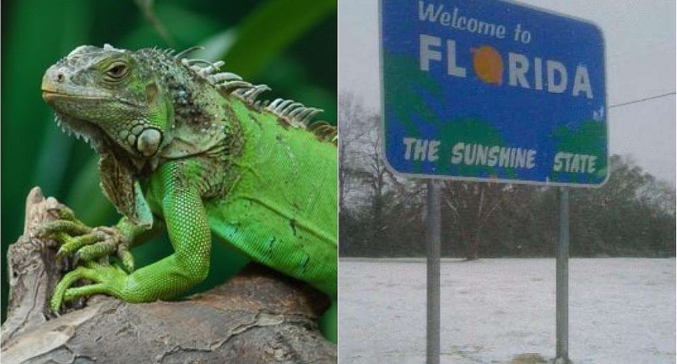 Iguanas caen congeladas de los árboles en el estado de Florida (EE.UU)