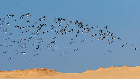 Algunas de las aves migratorias son: Playeritos, Vuelvepiedras, Albatros, Zarapitos y Becasinas.