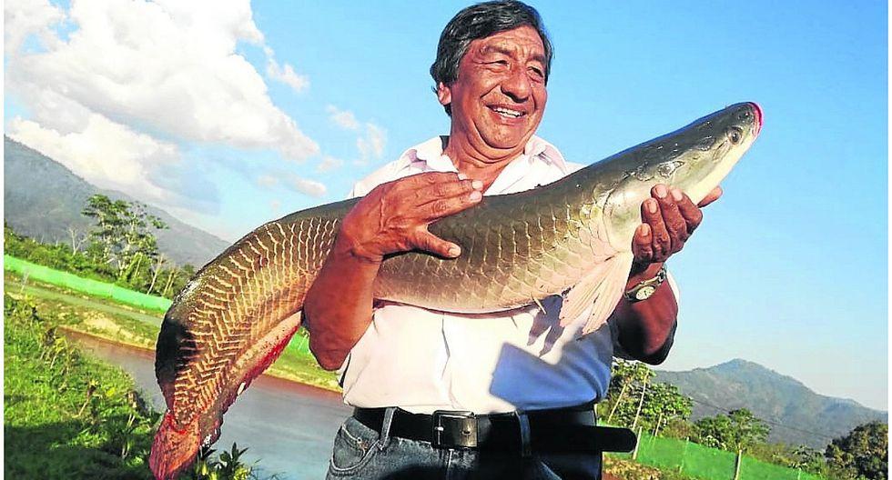 El paiche, un enorme pez que se convierte en alternativa alimenticia por alto valor nutritivo