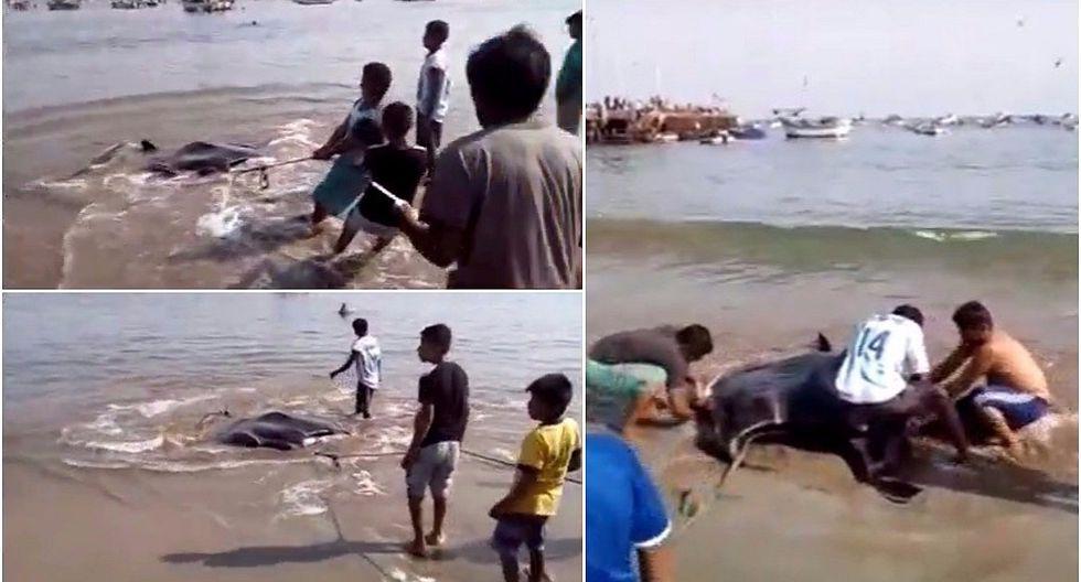 Tumbes: mantarraya gigante es torturada para vender su carne pese a prohibición (VIDEO)