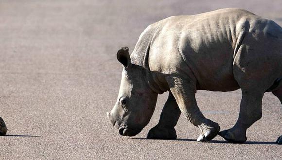 Rinoceronte cachorro da lección de vida al ayudar a una tortuga