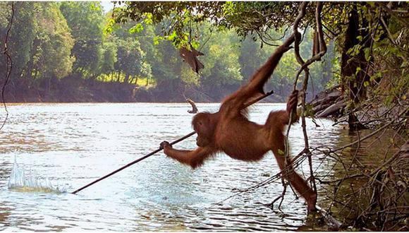 """Orangután es captado usando su propia """"lanza"""" para atrapar peces"""