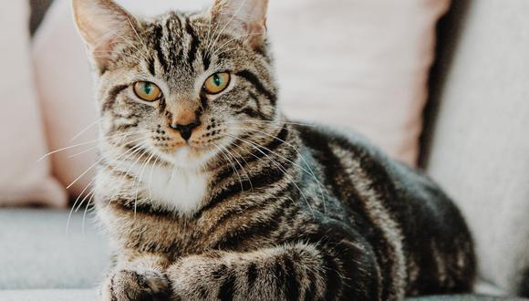 Tu gato ideal dependerá de tu estilo de vida y de tus preferencias personales (Foto: freepik)